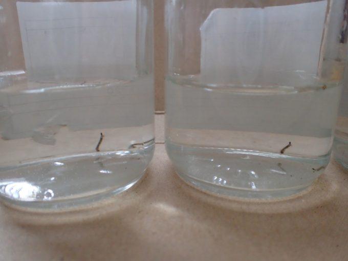 雨水だけの環境で生きている蚊の赤ちゃんボウフラのガラス瓶容器