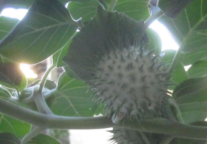 ケチョウセンアサガオの種(タネ)が入ったトゲトゲ果実