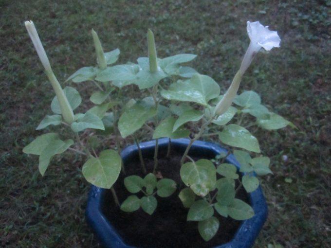 タネ蒔きから約2ヶ月後に開花したケチョウセンアサガオの白い花