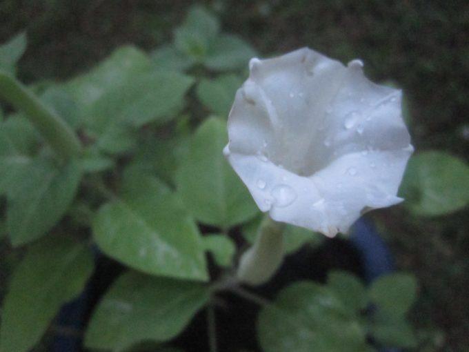 毒草ケチョウセンアサガオの白い花