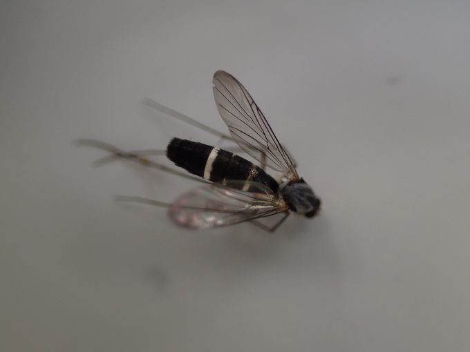 蚊にソックリな昆虫ガガンボモドキ・ガガンボダマシ