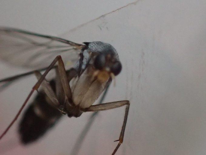 蚊よりも蝿(ハエ)に近いような頭部をした昆虫を超接写撮影