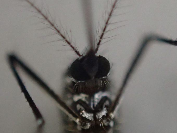 害虫ヒトスジシマカの頭部を顕微鏡モードで超接写撮影