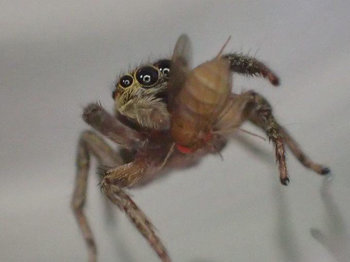 小さな蠅(ショウジョウバエ)を捕食するハエトリグモ
