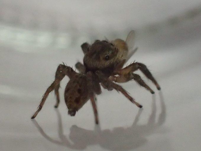 周囲を警戒してキョロキョロと動き回るハエトリグモ