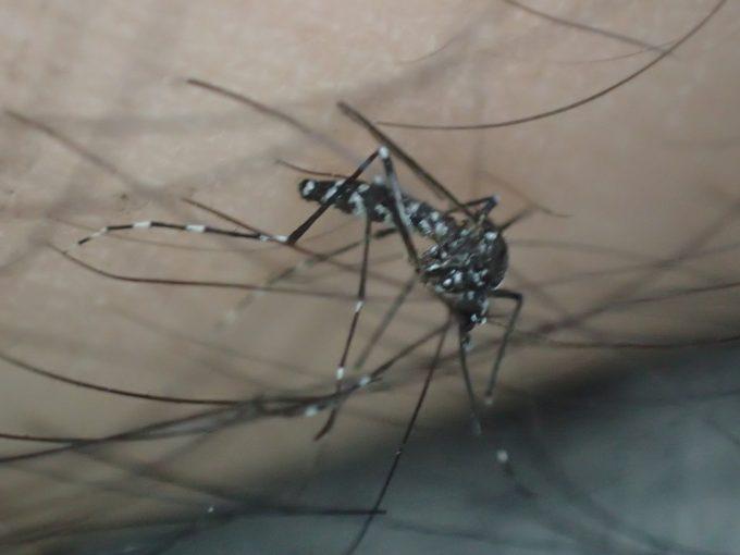 体毛・腕毛に足を滑らせ点灯する瞬間のヤブ蚊