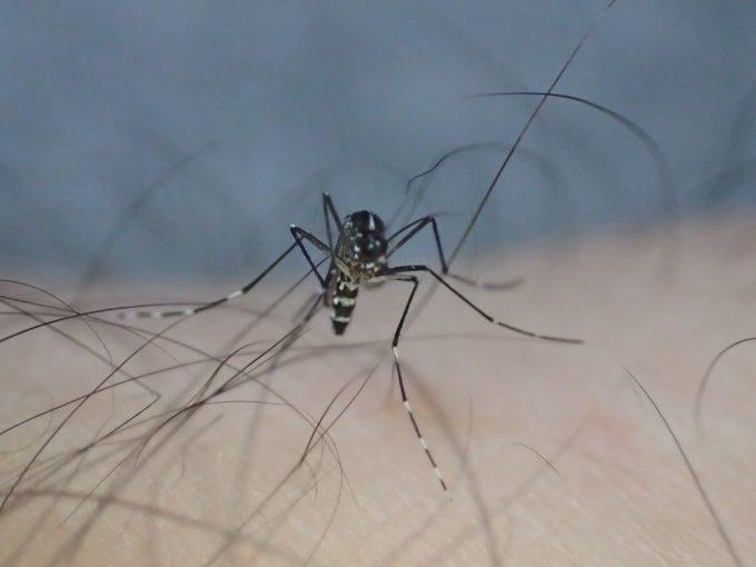 皮膚と体毛に足を載せてバランスを保つ害虫ヒトスジシマカ
