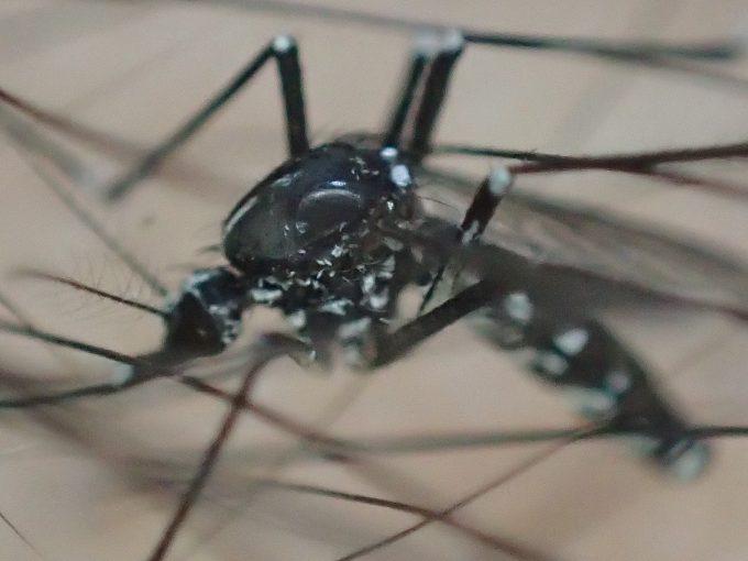 細くなった腹部から飢餓状態で血を求めていると分かる害虫ヤブ蚊