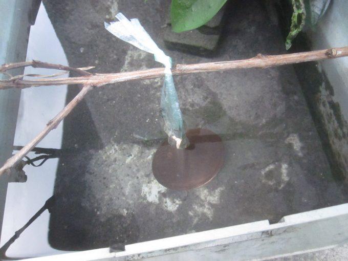 雨水を貯める容器に吊り下げてボウフラ発生の抑止力を期待する