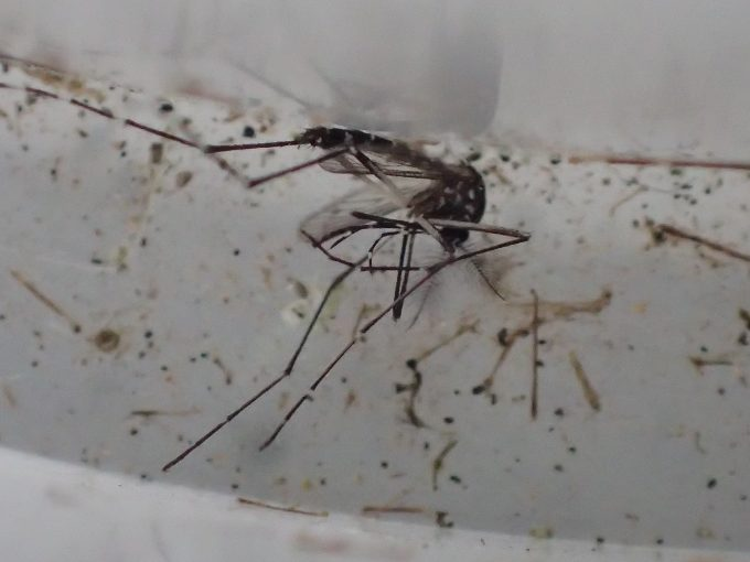 「蚊とりん」で羽化に成功したが外に出られず一生を終えた蚊の死骸