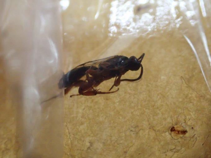 蚊(カ)以外の小さな昆虫もテープにかかっている