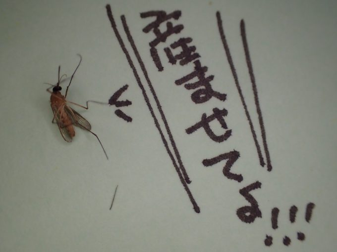 退治した害虫イエカ(蚊)の死骸