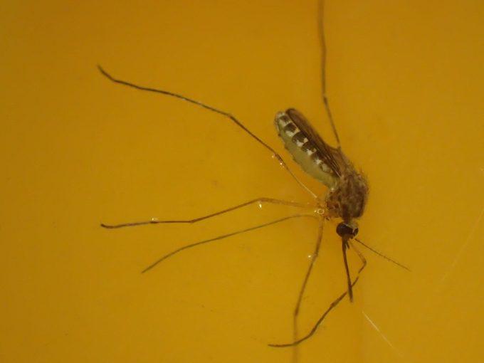フーっと息を吹きかけるとモゾモゾ動いて立ち上がった蚊(イエカ)