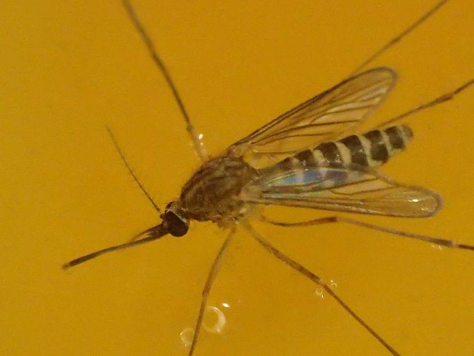 バランスを保って水に浮かんだままジッと動かない害虫イエカ(蚊)