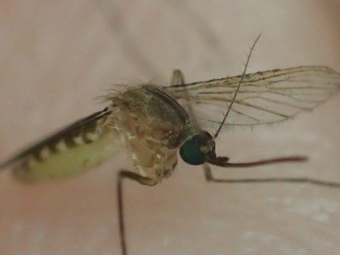二本の脚でバランスと保ち飛び立とうと試みるしぶとい蚊(イエカ)