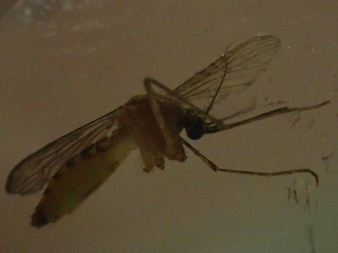 逃げようとするイエカ(蚊)を追撃の手刀で仕留めた瞬間の画像