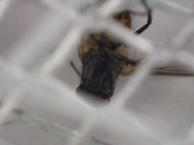 電撃殺虫ラケットで退治・撃退した衛生害虫ハエの死骸