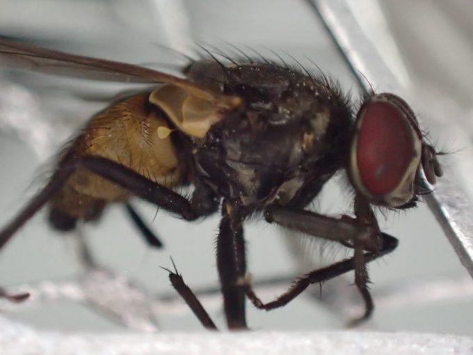 電撃殺虫ラケットで感電死させ退治した害虫ハエの死骸