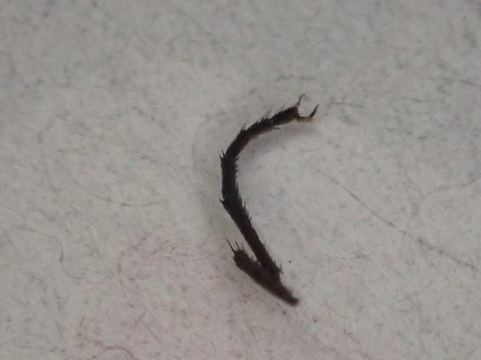 ハエが感電のショック・ダメージで足が抜け落ちた?