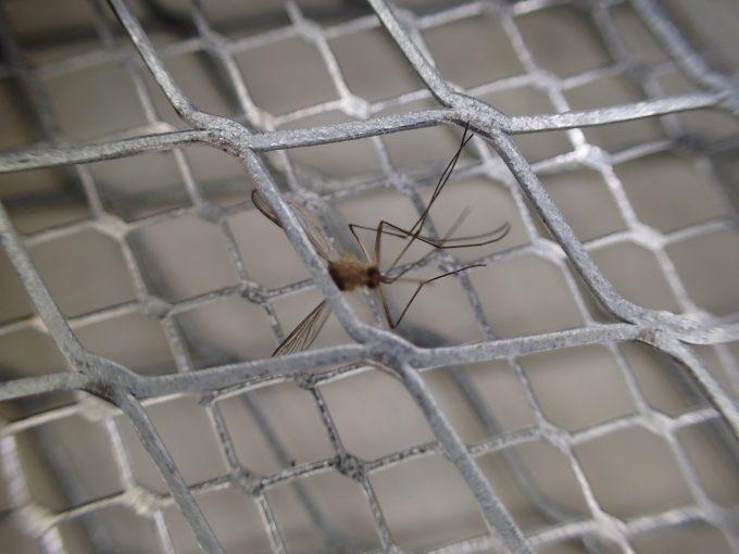 電撃殺虫ラケットで退治した害虫イエカ(蚊)の写真