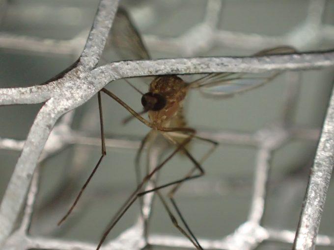 冬でも活動する厄介な害虫イエカ(蚊)