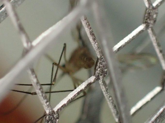 電撃殺虫ラケットで殺した蚊(イエカ)の超アップ写真