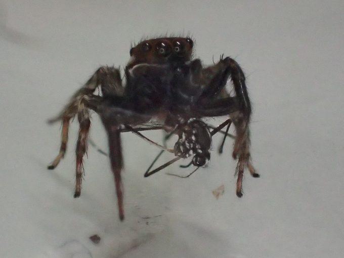害虫ヒトスジシマカ(蚊)を美味しそうにモグモグ食べるアダンソンハエトリ