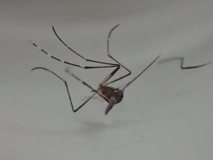 食後に放り捨てられたヒトスジシマカ(蚊)の残骸