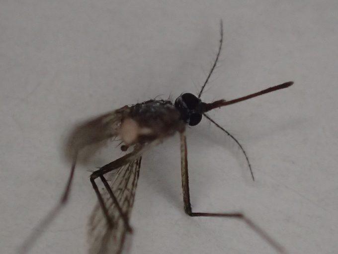 アダンソンハエトリに食べられた死んだ害虫ヒトスジシマカ(蚊)の死骸