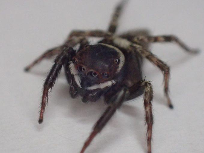 害虫の蚊を食べ終えて満足したのかジッとして動かないアダンソンハエトリ