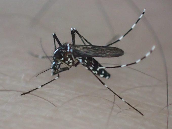 口針を皮膚深く突き刺して吸血する蚊(ヒトスジシマカ)