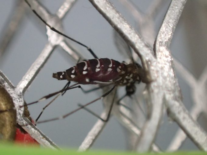 逃げて飛び立つ瞬間を狙って電撃殺虫ラケットで仕留めた蚊