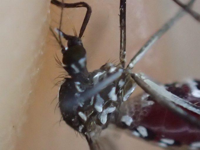 吸血用の針が折れ曲がったまま絶命したヒトスジシマカ(蚊)