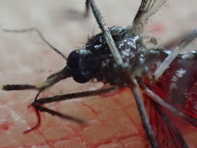 ひとおもいに平手打ちで駆除した害虫ヒトスジシマカ(蚊)
