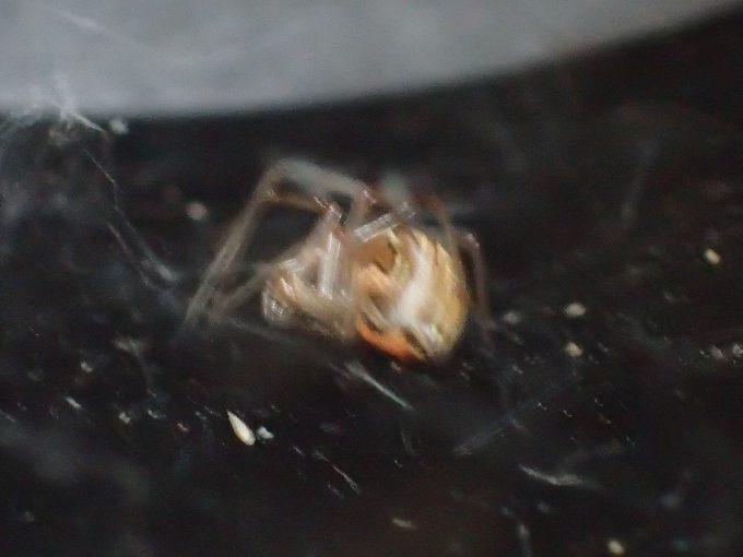 蚊の成虫が入り込む内部に糸で巣を作る蜘蛛