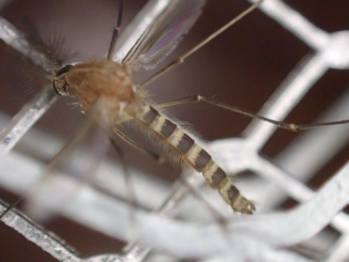 電撃殺虫ラケットで退治した害虫イエカ(蚊)の写真・画像