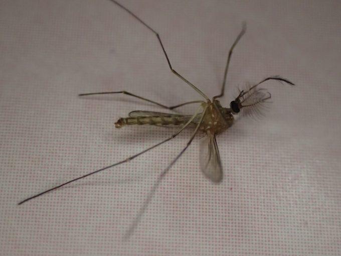 ひっくり返って動けなくなった害虫イエカ(蚊)