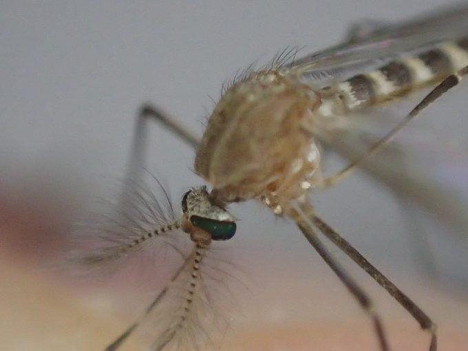 電撃殺虫ラケットの一撃でも微かに動いて生きていたイエカ(蚊)
