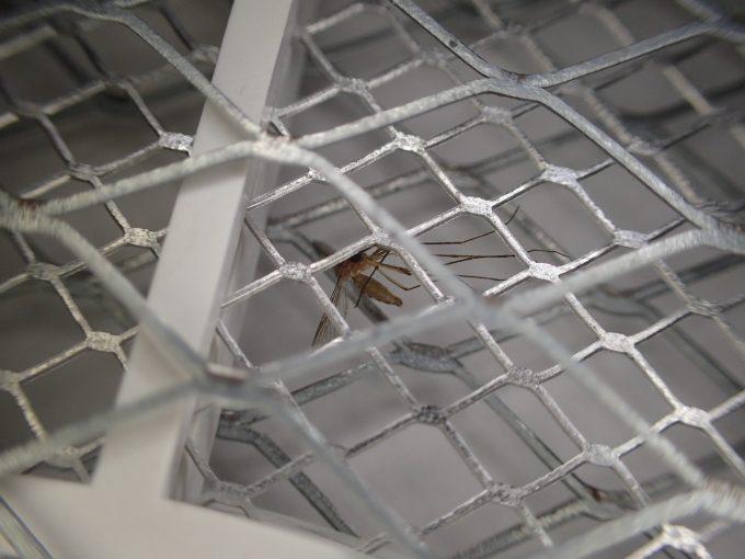 電撃殺虫ラケットの中で息絶えた害虫イエカ(蚊)