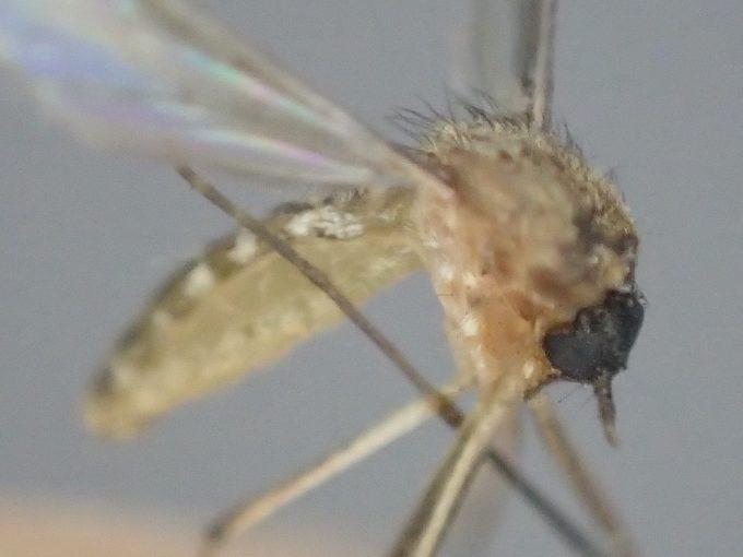 電撃殺虫ラケットで退治・駆除した害虫イエカ(蚊)の死骸