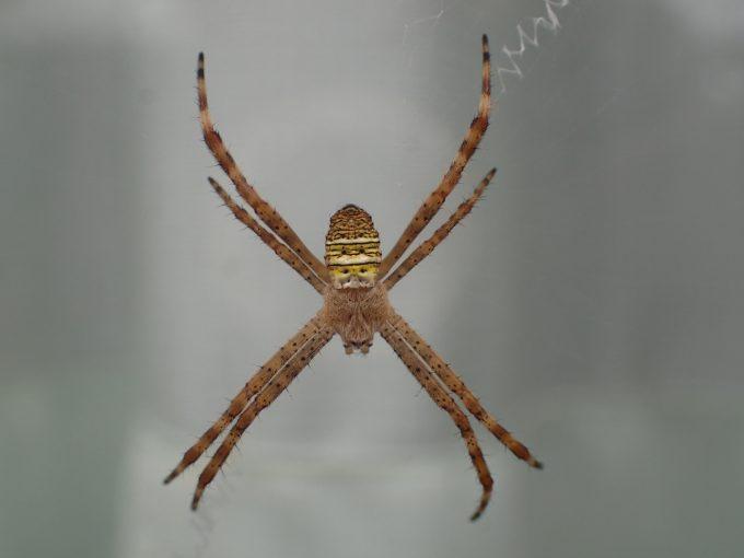 家の外(屋外)で巣を張った蜘蛛(コガネグモ?ジョロウグモ?)