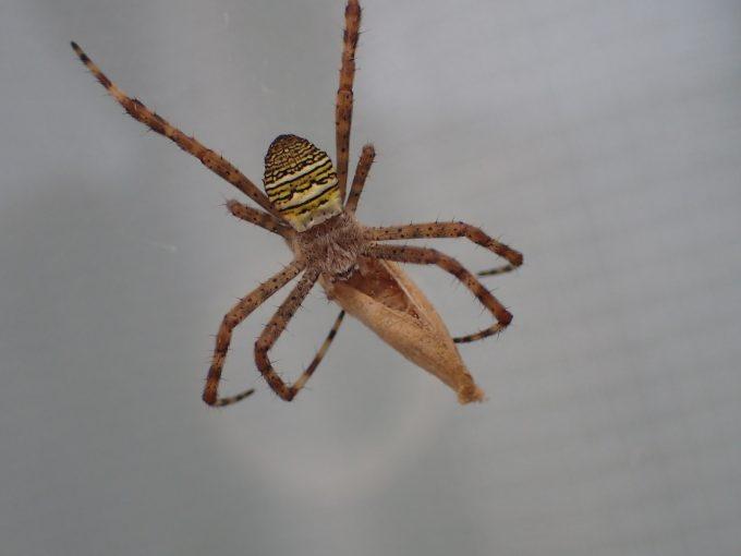 屋外に巣を張ったコガネグモ?ジョロウグモ?蜘蛛が害虫の蛾を捕食していた