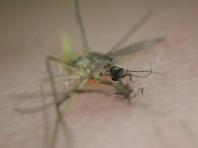 害虫イエカ(家蚊)の死骸を撮影した写真・画像