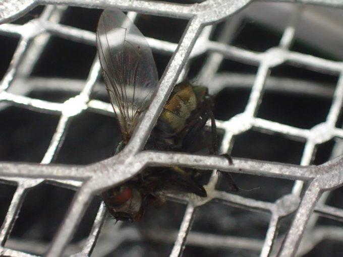 電撃殺虫ラケットの金網に絡まって感電死した害虫の蝿(ハエ)