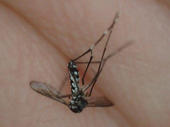 腹一杯に血を吸った蚊(ヒトスジシマカ)も4,5日ほど閉じ込めると腹部が細くなり死んだ。