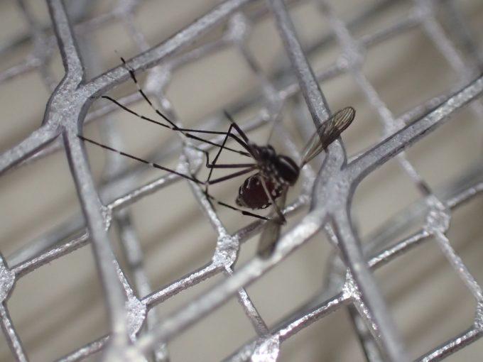 吸血後に飛び去って逃げようとするヤブ蚊を電撃殺虫ラケットで迎え撃って退治!