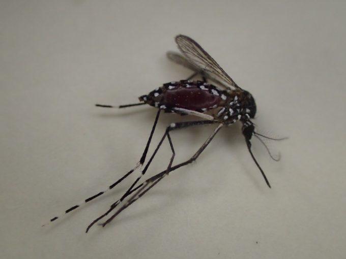 お腹いっぱい血を吸ったまま死んだヤブ蚊(ヒトスジシマカ)