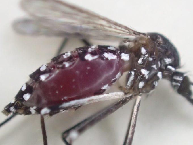 人間の血液を吸って赤黒く膨れ上がった蚊の腹部