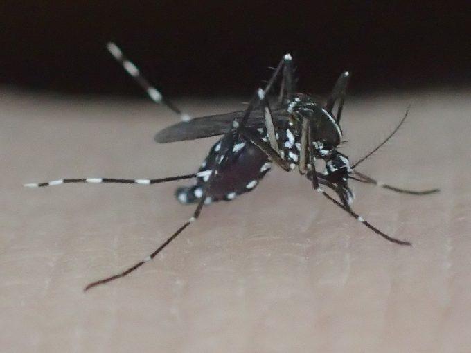 害虫ヤブ蚊(ヒトスジシマカ)がヒトから血を吸う写真・画像