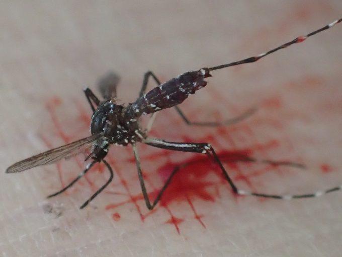 タップリ血を吸わせて叩き退治したヤブ蚊(ヒトスジシマカ)の死骸